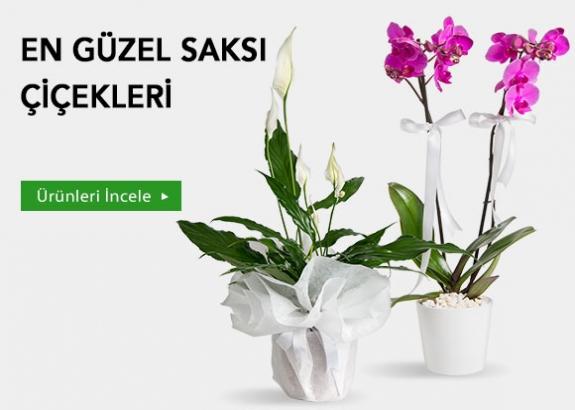 0rkide Mor Orkide