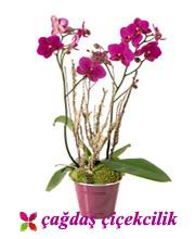 Mor Orkide(yeni ürün)